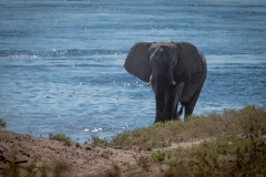 Elefant am Chobe-River